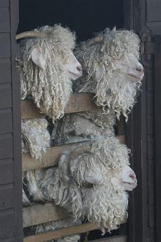*angora goats