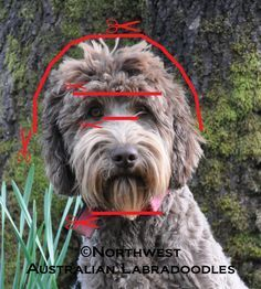 Schnoodle or Labradoodle face cut that seems to be so hard for groomers to do---maybe this will help
