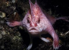 Finding swimming a bit too common, the pink handfish uses its fins to walk along the ocean floor rather than swimming like everyone else. The eerie species was discovered in Tasmania, Australia, but only four specimens have ever been identified.