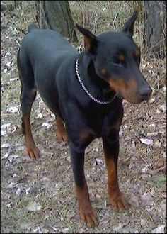 Centrum.sk email Doberman Breeders, Doberman Pinscher, Baby Puppies, Dogs And Puppies, Doggies, Weimaraner, Rottweiler, European Doberman, Doberman Love