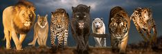 Big Cats Lions Jigsaw Puzzle