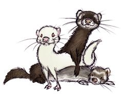 Ferrets by ShoJoJim on deviantART