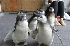 Baby Penguins Attending Fish School at the San Francisco Zoo