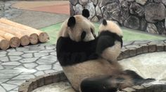 Baby panda kiss, in case you are having a bad day. - FunSubstance Baby panda kiss, in case you are having a bad day. Niedlicher Panda, Panda Bebe, Big Panda, Panda Funny, Animals And Pets, Baby Animals, Funny Animals, Cute Animals, Panda Kindergarten
