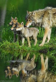 Awesome views: Wolf and Pups