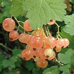 Fruitier: Groseillier Rose Gloire des Sablons Groseillier Rose Gloire des Sablons, pot d'1,6L Groseillier à fruits de couleur rose, plus sucrés que les variétés à fruits blanc et moins acides que les variétés