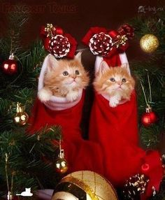 ♥ Sweet Twins For more Christmas cats, visit https://www.facebook.com/funholidaycats .