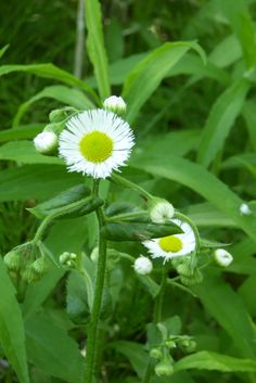 """Erigeron annuus, is an annual plant. Erigeron comes from Greek meaning """"early"""" and """"old man,"""" which allude to the plant's tendency to blossom in late spring and to form fuzzy white seed heads while still producing new flowers. Daisy fleabane, like other fleabane wildflowers, derives its common name from the superstition that dried clusters of these plants could be used to rid a dwelling of fleas. Although it cannot do that, it is however used as a diuretic and medicine for digestive…"""