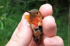 Yavru sinek kuşu