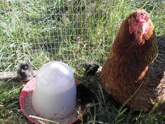 A busy monday here at FSF HQ, but I've managed to find five mintues to sneak down to the #chicken field and check up on our new Cuckoo Maran chicks and throw a handful of corn for the rest of my #poultry pals.