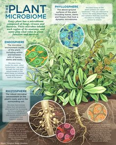 Visualizing The Plant Microbiome is part of Environmental Science Plants - Inside every plant is a world of microbial life Microscopic organisms like fungi, viruses, and bacteria inhabit each and every region of… Plant Science, Science Biology, Teaching Science, Science And Nature, Biology Lessons, Biology Teacher, Hydroponic Growing, Hydroponic Gardening, Vegetable Gardening