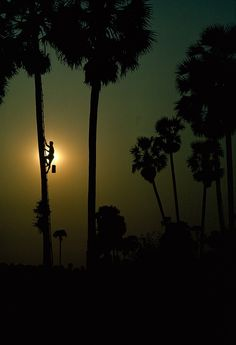 Sundown silhouettes a sugar harvester descending a toddy palm tree in Cambodia, October 1964.Photograph by Thomas J. Abercrombie, National Geographic Creative