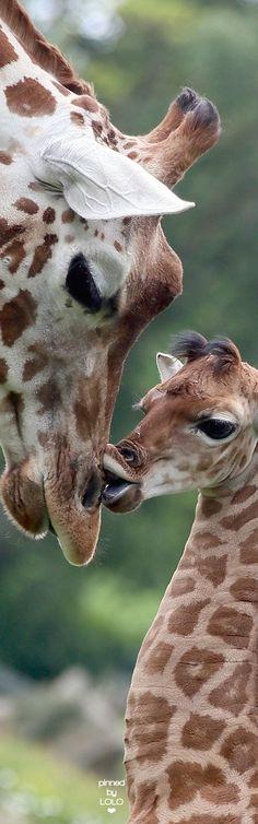 Baby giraffe kiss