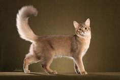 Somali Cat named Mana, displaying tail of magnificence - copyright Helmi Flick