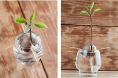 Pildiotsingu how to grow avocado tulemus - Avocado Tree - Avocado Diy And Crafts, Glass Vase, Free Time, Gardening, Avocado Seed, Stuffed Avocado, Planting Seeds, Growing Avocado, Avocado Tree