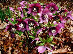 HELLEBORUS hybrid 'Red Lady' - Julerose, farve: bordeaux, lysforhold: halvskygge, højde: 30 cm, blomstring: februar - maj, velegnet til snit, hele planten er meget giftig.