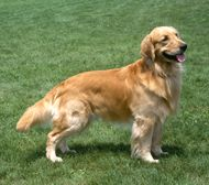 The Golden Retriever Dog Breed: Everybody's friend, the golden retriever is known for her devoted and obedient nature as a family companion. She is an apt sporting . Dogs Golden Retriever, Retriever Dog, Golden Retrievers, Pet Dogs, Dogs And Puppies, Pets, Farm Dogs, Dog Quotes Funny, Best Dog Training