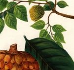 Scientific illustrators aid scientists in their research, and, in doing so, create works of art. This illustration - Annona cherimola (Annonaceae) by Diane Robertson - is part of a database accessible to all. #seriouslyamazing