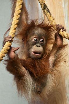 https://flic.kr/p/ai9ayK | Hesty the baby Orangutan