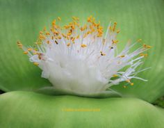 View picture of Haemanthus (Haemanthus deformis) at Dave's Garden. All pictures are contributed by our community. Famous Daves, Water Lilies, All Pictures, Trees To Plant, Seeds, Lily, Community, Balcony, South Africa