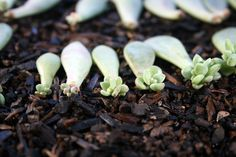 Propagating succulents can be done by using the offsets, leaf cuttings, stem cuttings, or seeds from a mature plant.