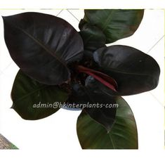 "Philodendron ""Black Cadinal"" Easy to Grow -Succulent - Plant Pot Cacti And Succulents, Planting Succulents, Indoor Garden, Outdoor Gardens, Musa Banana, Small Indoor Plants, Red Plants, Growing Plants Indoors, Black Leaves"