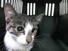 SAFE! TO BE DESTROYED 1/24/15 *NYC* BABY ALERT! ONLY 9 MONTHS OLD!! * Brooklyn Center * Nervous Nellie Adorable Kitten -- FLAMES -- Needs An Experienced New Home! Please foster, adopt or pledge to save this poor scared kitten tonight! *   My name is FLAMES. My Animal ID # is A1025148. I am a female brn tabby and white domestic sh mix.  I am about 9 MONTHS old.  OWNER SUR on 01/10/2015 from NY 11210, MOVE2PRIVA. Group/Litter #K15-000809.