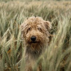 Colorado Grass by Adrian C. Murray on Airedale terrier Like Animals, Fluffy Animals, Animals Of The World, Adorable Animals, Canis Lupus, National Pet Day, Popular Photography, Airedale Terrier, Goldendoodle