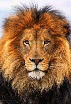 .Lion - le roi de la jungle - se faisant nourrir par la lionne ;-)