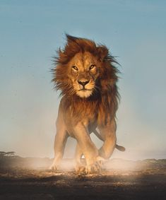 Lion - All Creatures Great And Small - Wild Animals Nature Animals, Animals And Pets, Baby Animals, Funny Animals, Cute Animals, Wildlife Nature, Fierce Animals, Funny Cats, Lion Photography