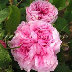 Kraftvoll SchÖne Hell Rosa Damast Rosen Tischdecke Online Shop Tischdecken