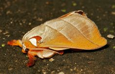 https://flic.kr/p/cQFpcC | Cup Moth (Mahanta sp, Limacodidae) | Pu'er, Yunnan, China  see comments for caterpillar image....