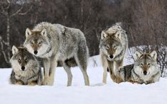 http://www.hdwallpapers.in/walls/gray_wolves_norway-wide.jpg