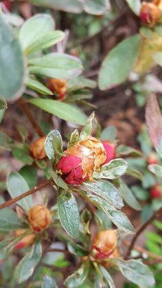 how azalea blossoms 2