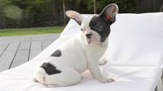 Finding names for female french bulldog dogs is not an easy task. Discover best and funny girl french bulldog names of 2020. Lola, Stella, Bella, Luna, Daisy, Olive … You've probably just adopted the dog...