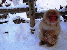 Snow Monkeys of Jigokudani Park, Yamanouchi, Nagano Snow Monkeys, Nagano, National Geographic, Bird, Cute, Animals, Animales, Animaux, Birds