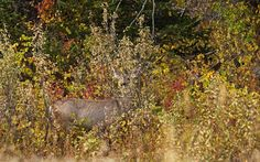 High grasses and shades of the fall season help camouflage a white-tailed deer against unwelcome visitors.