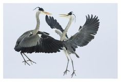 Grey Heron pair fighting over a fish, Usedom, Germany - Konrad Wothe - Fine Art Print