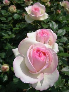 Beautiful Rose Flowers, Beautiful Gardens, Pretty In Pink, Beautiful Flowers, Horticulture, Trees To Plant, Pink Roses, Paper Flowers, Flower Arrangements