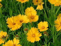 Nagyvirágú menyecskeszem  - Coreopsis grandiflora