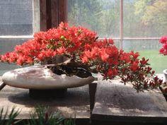 Spring in Nick Lenz's garden  Internet Bonsai Club