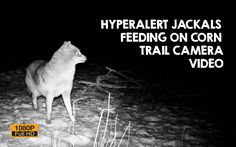 Jackals caught on trail camera feeding on maize at night on the Ile river bank. These animals always stay hyperalert. Trail Camera, River Bank, Bird Watching, My Animal, Wildlife, Pets, Videos, Animals, Animaux