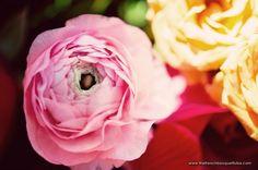 Gorgeous Pink Ranunculus