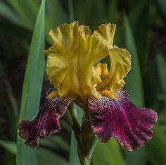 Duke Gardens Iris   Flickr - Photo Sharing!
