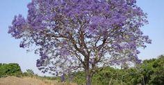 Jacaranda micrantha, Jacarandá, Carobão, Caroba.