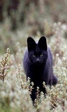 Black serval. Very rare... Aberdare National Park in Kenya.