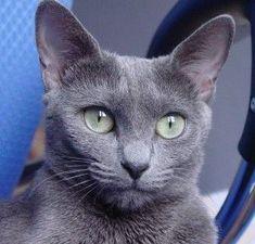 Russian Blue Cat | CatsSky