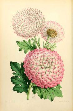 flowers-15054 - Chrysanthemum [1935x2910] -
