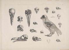 dendroica:    Strix decussata and skulls from other raptorsby BioDivLibrary on Flickr.  [Die vergleichende Osteologie /. Bonn :In Commission bei Eduard Weber,1821-1838..biodiversitylibrary.org/page/40170760
