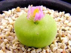 Conophytum Pillansii - Mesembs